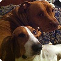 Adopt A Pet :: Irene and Hercules - Plano, TX
