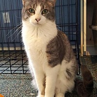 Domestic Shorthair Cat for adoption in Austin, Texas - Addison