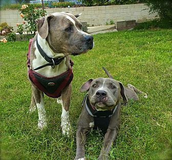 American Staffordshire Terrier/American Pit Bull Terrier Mix Dog for adoption in Burbank, California - Lily&Doogie-URGENT
