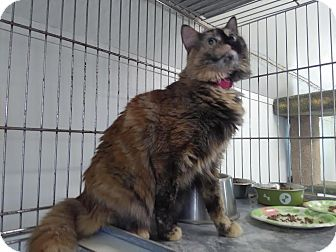 Domestic Mediumhair Cat for adoption in Owenboro, Kentucky - MAYCEE