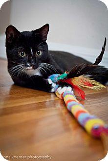 American Shorthair Kitten for adoption in Los Angeles, California - Wasabi