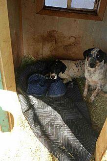Dalmatian/Catahoula Leopard Dog Mix Dog for adoption in San antonio, Texas - D.O.G.