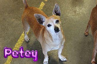 Chihuahua Dog for adoption in Nixa, Missouri - Petey #932