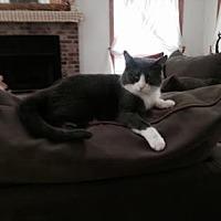 Domestic Shorthair Cat for adoption in New York, New York - Betty