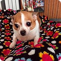 Adopt A Pet :: Meggy - North Hollywood, CA