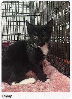 American Shorthair Kitten for adoption in Cerritos, California - Emmy
