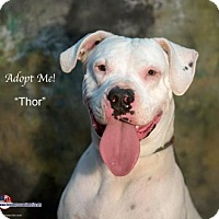Dogo Argentino Dog for adoption in Acton, California - Thor