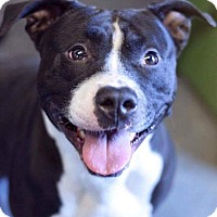 American Pit Bull Terrier Mix Dog for adoption in St. Charles, Missouri - Brody/Courtesy Posting!