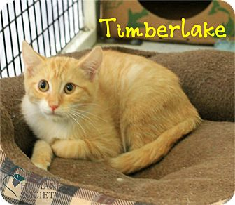 Domestic Shorthair Kitten for adoption in Covington, Louisiana - Timberlake