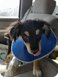 Border Collie Puppy for adoption in Jarrell, Texas - Angus