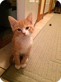 Domestic Shorthair Kitten for adoption in Carlisle, Pennsylvania - Axl