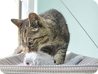 Domestic Shorthair Cat for adoption in Bradenton, Florida - Marley