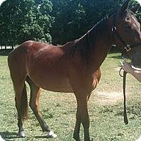 Adopt A Pet :: Aries - York, SC