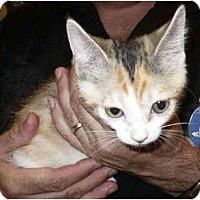 Adopt A Pet :: Li'l Bitty Kitty - Colmar, PA