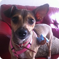 Adopt A Pet :: Delightful DoraLee - Madison, NJ