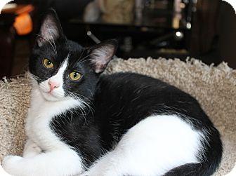 Domestic Shorthair Kitten for adoption in Nashville, Tennessee - Gizmo