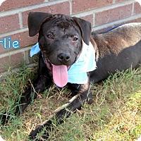 Adopt A Pet :: Charlie - Groton, MA