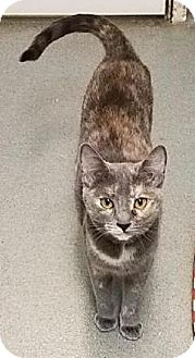 Domestic Shorthair Cat for adoption in Westminster, California - Jane