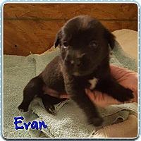 Adopt A Pet :: Evan - Jay, NY
