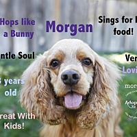Cocker Spaniel Dog for adoption in Sherman Oaks, California - Morgan