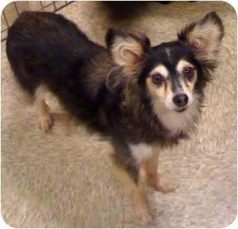 Sheltie, Shetland Sheepdog/Terrier (Unknown Type, Small) Mix Dog for adoption in Fowler, California - Lady