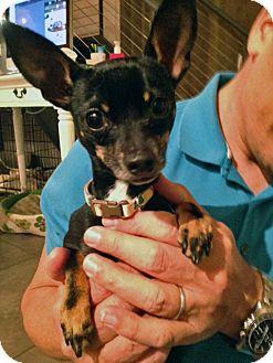 Chihuahua/Miniature Pinscher Mix Dog for adoption in Studio City, California - Winston