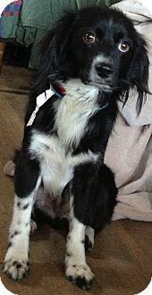 Cocker Spaniel/Terrier (Unknown Type, Medium) Mix Dog for adoption in Thousand Oaks, California - Lonny