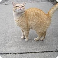Domestic Shorthair Cat for adoption in Cleveland, Ohio - Pumpkin Muffin