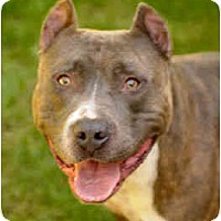 Adopt A Pet :: Braveheart - Chicago, IL
