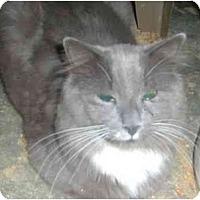 Adopt A Pet :: Nico - Bedford, MA