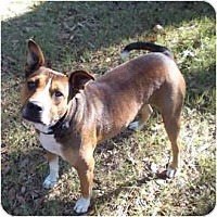 American Bulldog Mix Dog for adoption in Havana, Florida - Pharoah