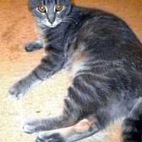 Domestic Shorthair Cat for adoption in Rootstown, Ohio - Juliet - Mom Cat - Courtesy Listing