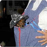 Adopt A Pet :: Chico & Vinnie - Scottsdale, AZ
