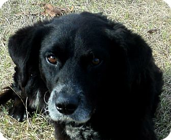 Border Collie/Flat-Coated Retriever Mix Dog for adoption in Blountstown, Florida - Blackie