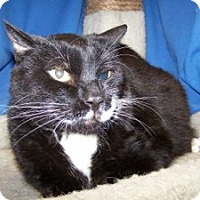 Adopt A Pet :: Socks - Colorado Springs, CO