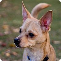 Adopt A Pet :: Major - Oakland, CA