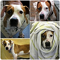 Adopt A Pet :: Posey - Forked River, NJ