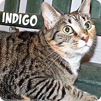 Adopt A Pet :: Indigo - Ridgeland, SC