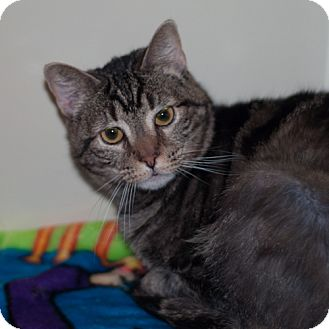 Egyptian Mau Cat for adoption in New Martinsville, West Virginia - Sophia/Monkey Butt