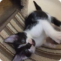 Adopt A Pet :: White & Black. Male kitten PPB - Manasquan, NJ