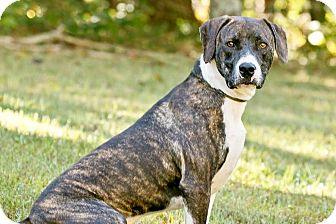 Mountain Cur/Boxer Mix Dog for adoption in Cashiers, North Carolina - Rap Star