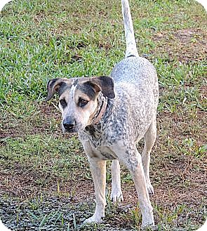 Australian Cattle Dog/Hound (Unknown Type) Mix Dog for adoption in Grand Island, Florida - Sadie
