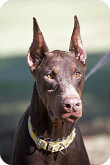 Doberman Pinscher Mix Dog for adoption in Phoenix, Arizona - Marco