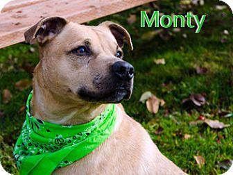 Staffordshire Bull Terrier Mix Dog for adoption in Hamilton, Montana - Monty