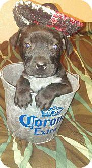 Labrador Retriever/Mixed Breed (Medium) Mix Puppy for adoption in Burleson, Texas - Nelson