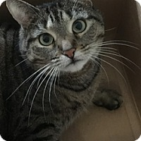 Domestic Mediumhair Cat for adoption in Fairfield, Connecticut - Serena