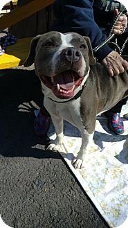 American Staffordshire Terrier Mix Dog for adoption in Pottsville, Pennsylvania - Bella