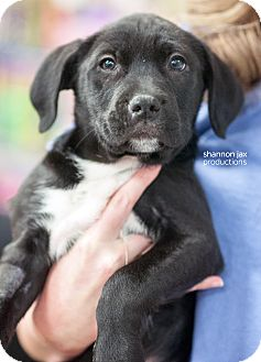 Retriever (Unknown Type) Mix Puppy for adoption in Gainesville, Florida - Guy