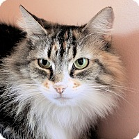 Domestic Longhair Cat for adoption in Morganton, North Carolina - Fiona