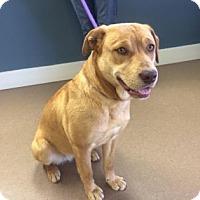 Adopt A Pet :: Bailey - Hendersonville, NC